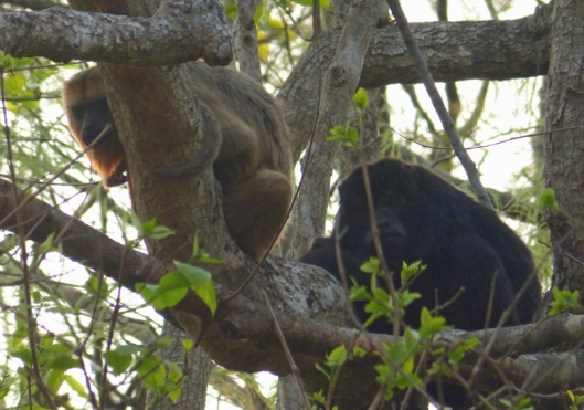 Howler monkeys. The male's dawn roar may be heard three kilometres away