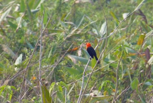 Scarlet-headed blackbird. In life it glowed even more than this.