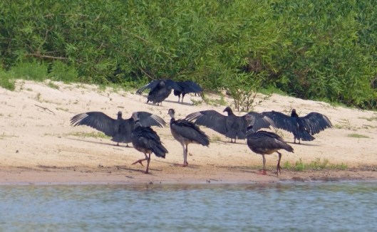 Anhingas drying their wings. Unlike many other birds they do not have natural oils to protect their feathers as they dive for fish