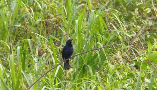 ? Unicoloured blackbird, male