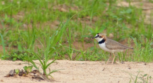 ? Collared plover