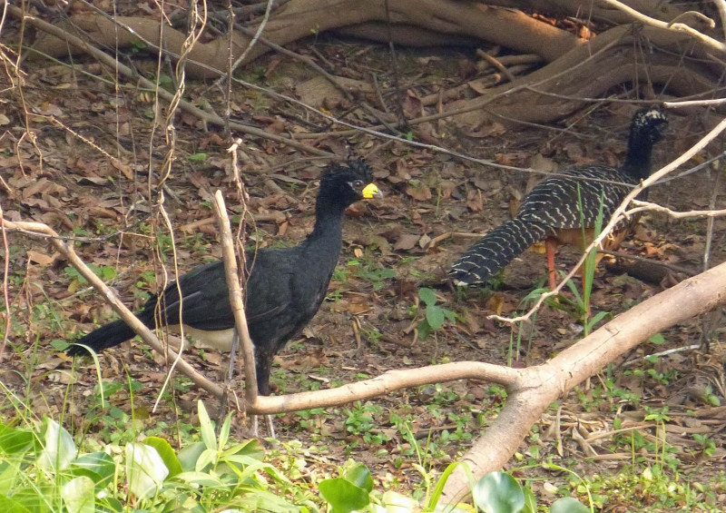 Mr and Mrs Bare-faced curassow