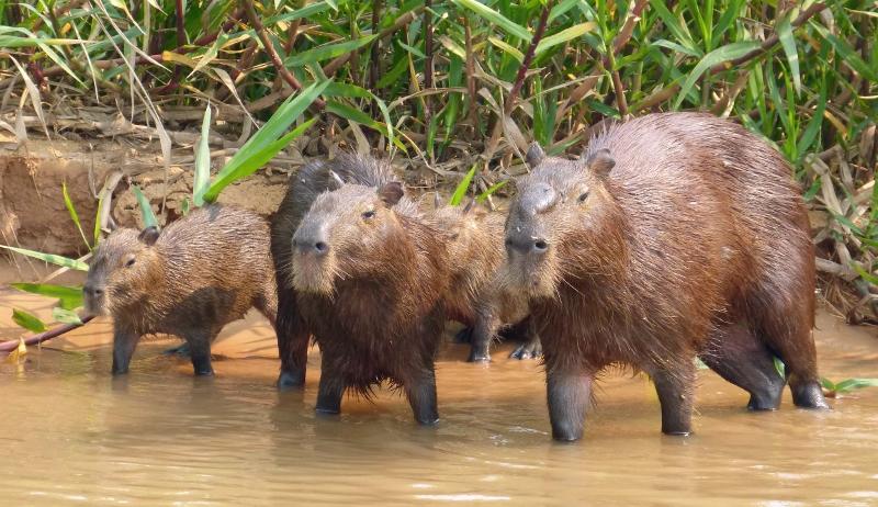 Team capybara