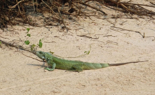 Iguana (about 2 ft long) with replacement, boneless, tail