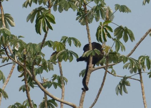 Howler monkey, male