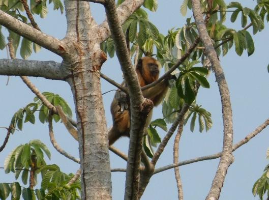 Howler monkey, female