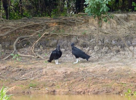 Black vultures. They said that this birds defaecates on its legs to cool itself. As my bird book says this bird has yellow legs, I have to accept that 'they' were not kidding.
