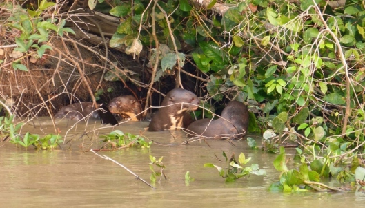 Impossible not to stop and watch the same family of giant river otters at their morning ablutions