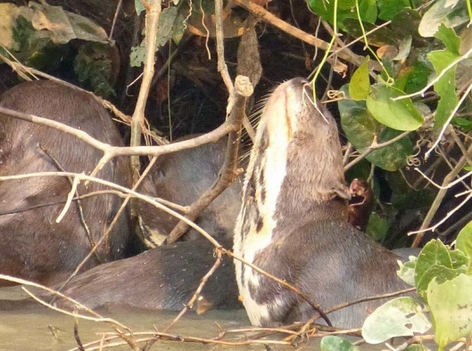 The cream markings on throat and chest are individual to each otter