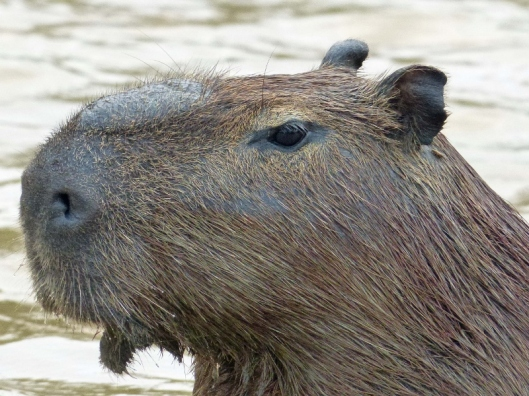 This afternoon's Capybara