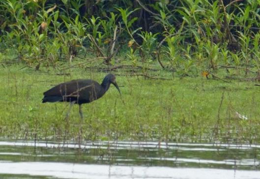? Green ibis