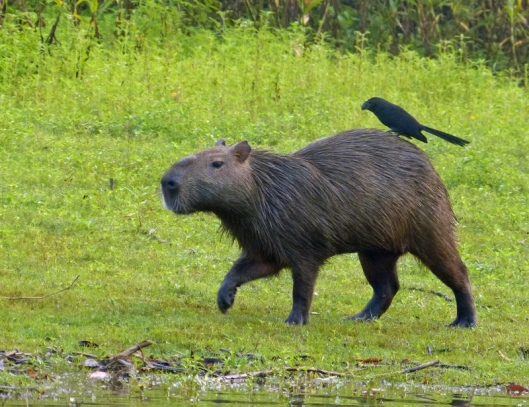 Capybara and ? Smooth-billed ani