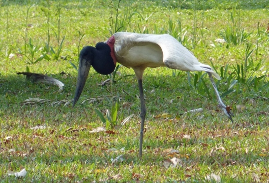 Jabiru stork practising its arabesque