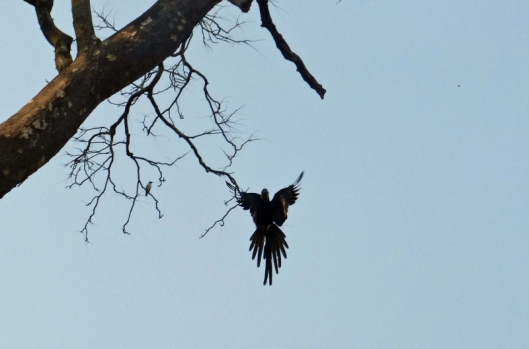 A reminder of the wonderful silhouette of a hyacinth macaw as it comes in to land