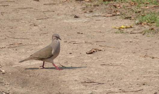 ? White-tipped dove