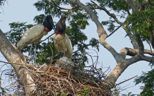 Good to see that the teenage Jabiru storks have two parents in fact