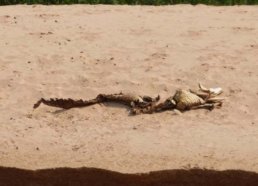 This caiman skeleton was about 4 ft long
