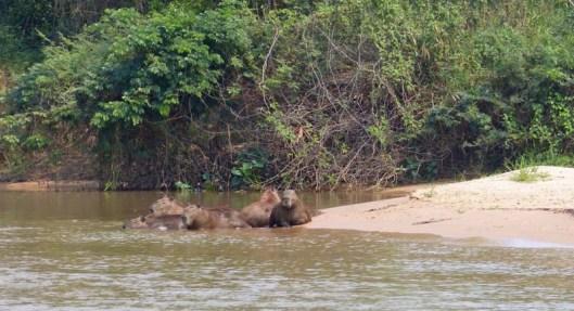 Byebye capybaras