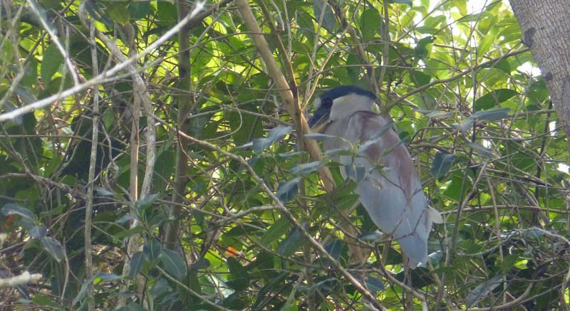 Boat-billed heron, unfortunately hiding most of its boat-bill