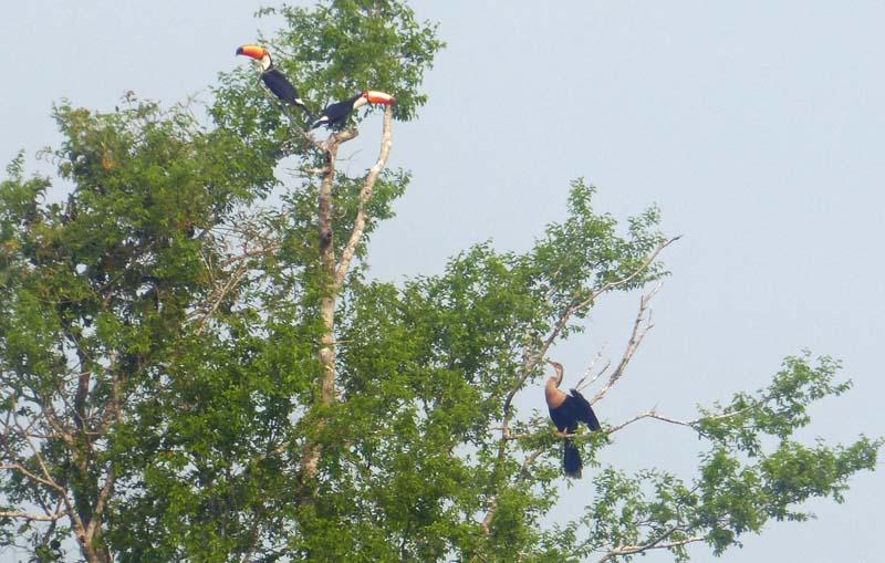 Two toco toucans and anhinga