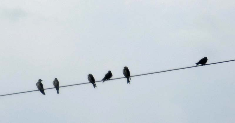 ? Brown-chested martins