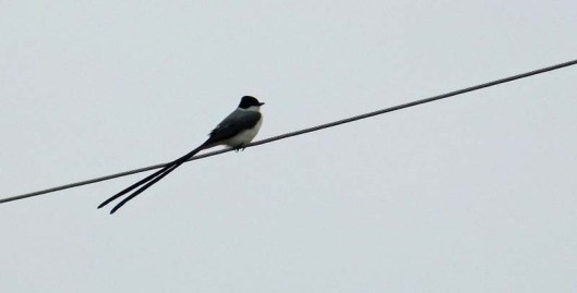 ?Fork-tailed flycatcher