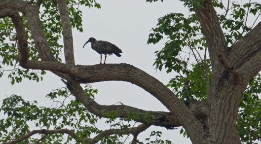 ? Plumbeous ibis