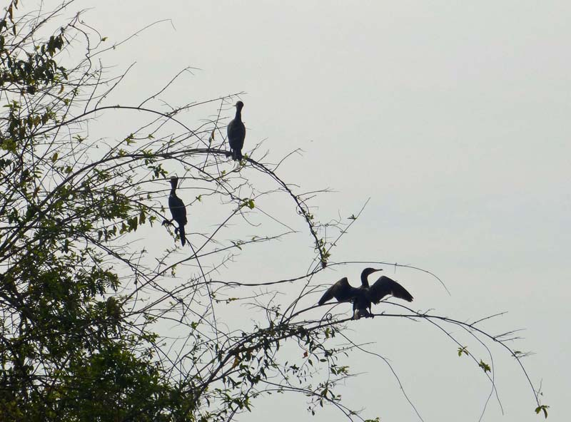 Anhingas hanging themselves out to dry