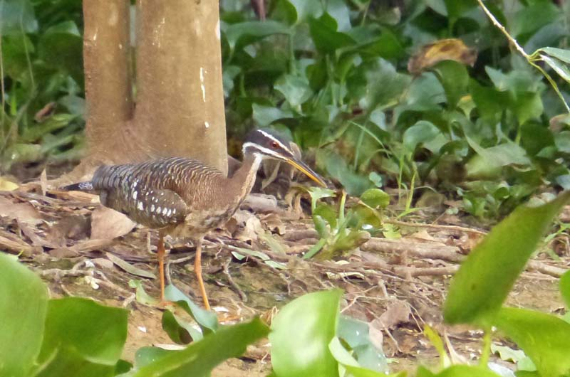 People in the know got very excited about this: Sunbittern