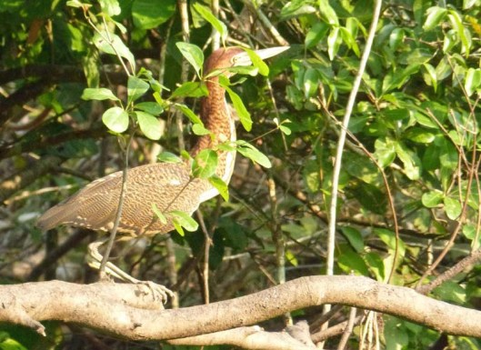 One of my favourites - not least because I could recognise it - the rufescent tiger heron, juvenile