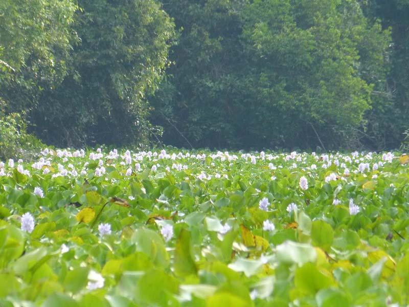 Massed water hyacinths